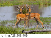 Купить «Close view of a two male impalas (Aepyceros melampus) with characteristic lyre-shaped horns, Moremi National Reserve, Okavango Delta, Botswana, Africa», фото № 28308909, снято 17 июля 2018 г. (c) BE&W Photo / Фотобанк Лори