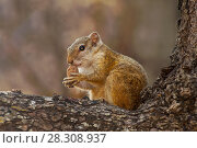 Tree Squirrel, Paraxerus cepapi chobiensis, eating nut in the nature habitat, Botswana, Africa. Стоковое фото, агентство BE&W Photo / Фотобанк Лори