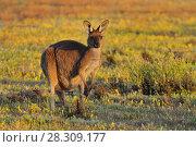 Купить «Eastern grey kangaroo (Macropus giganteus) Coorong National Park Australia», фото № 28309177, снято 20 июля 2019 г. (c) BE&W Photo / Фотобанк Лори