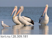 Купить «The Australian pelicans (Pelecanus conspicillatus) is a large waterbird of the family Pelecanidae, Australia», фото № 28309181, снято 16 января 2019 г. (c) BE&W Photo / Фотобанк Лори