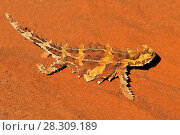 The thorny devil or thorny dragon (Moloch horridus) is an Australian lizard, also known as the mountain devil, the thorny lizard, or the moloch, Uluru-Kata Tjuta National Park Australia. Стоковое фото, агентство BE&W Photo / Фотобанк Лори