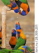 Купить «Australian Rainbow Lorikeets (Trichoglossus moluccanus) drinks from water tap, Outback Australia», фото № 28309201, снято 23 января 2019 г. (c) BE&W Photo / Фотобанк Лори