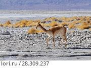 Wild Vicuna (Vicugna vicugna) at the Laguna Colorada, Altiplano, Bolivia, South America. Стоковое фото, агентство BE&W Photo / Фотобанк Лори