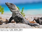 Купить «Ctenosaura similis, commonly known as the black spiny-tailed iguana, black iguana, or black ctenosaur, is a lizard native to Mexico and Central America. Tulum Mexico.», фото № 28309281, снято 27 мая 2018 г. (c) BE&W Photo / Фотобанк Лори