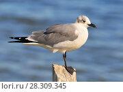 Купить «Seagull in Rio Lagartos Natural Reserve, Mexico», фото № 28309345, снято 11 декабря 2019 г. (c) BE&W Photo / Фотобанк Лори