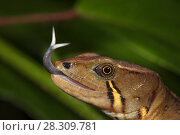 Купить «Somber stream lizard (Galenesaurus cochranae) sensing with tongue, Narupa area, Ecuador.», фото № 28309781, снято 19 апреля 2018 г. (c) Nature Picture Library / Фотобанк Лори