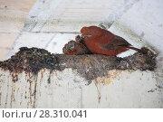 Купить «Cock-of-the-rock (Rupicola peruviana) female and chicks on nest beneath bridge, Ecuador.», фото № 28310041, снято 23 мая 2018 г. (c) Nature Picture Library / Фотобанк Лори