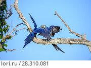 Купить «Hyacinth macaws (Anodorhynchus hyacinthinus) pair, Pousada Aguape, Moto Grosso do Sul State, Brazil. September.», фото № 28310081, снято 23 мая 2019 г. (c) Nature Picture Library / Фотобанк Лори