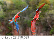 Купить «Pair of Red-and-green macaws  (Ara chloropterus) in flight over forest canopy. Buraco das Araras, Jardim, Mato Grosso do Sul, Brazil. September.», фото № 28310089, снято 23 мая 2019 г. (c) Nature Picture Library / Фотобанк Лори