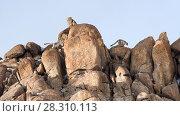 Купить «Snow leopards (Panthera uncia)  male following female - on rocky ridge line. Ulley Valley, Himalayas, Ladakh, India.», фото № 28310113, снято 23 мая 2019 г. (c) Nature Picture Library / Фотобанк Лори