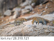 Купить «Male leopard (Panthera pardus) with one of its cubs on rocky outcrop. Jawai / Bera in Rajasthan, India.», фото № 28310121, снято 23 мая 2019 г. (c) Nature Picture Library / Фотобанк Лори