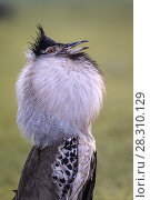 Купить «Kori bustard (Ardeotis kori) courtship display. Ngorongoro Crater, Ngorongoro Conservation Area, Tanzania.», фото № 28310129, снято 23 мая 2019 г. (c) Nature Picture Library / Фотобанк Лори