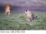 Купить «Lioness (Panthera leo) chasing away Cheetah (Acinonyx jubatus) Serengeti / Ngorongoro Conservation Area (NCA) near Ndutu, Tanzania.», фото № 28310133, снято 26 апреля 2018 г. (c) Nature Picture Library / Фотобанк Лори