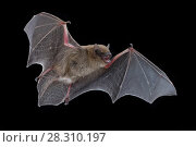Купить «Heller's pipistrelle (Neoromicia helios) in flight, Chitengo, Gorongosa National Park, Sofala, Mozambique. Controlled conditions», фото № 28310197, снято 21 мая 2018 г. (c) Nature Picture Library / Фотобанк Лори