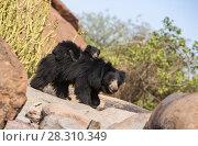 Купить «Sloth bear (Melursus ursinus) cub riding on mothers back, Daroiji Bear Sanctuary, Karnataka, India.», фото № 28310349, снято 21 июля 2018 г. (c) Nature Picture Library / Фотобанк Лори