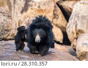 Купить «Sloth bear (Melursus ursinus) mother with cubs, one climbing onto her back, Daroiji Bear Sanctuary, Karnataka, India.», фото № 28310357, снято 21 июля 2018 г. (c) Nature Picture Library / Фотобанк Лори