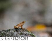 Купить «Kottigehar dancing frog (Micrixalus kottigeharensis) Agumbe, Western Ghats, India.», фото № 28310381, снято 19 апреля 2018 г. (c) Nature Picture Library / Фотобанк Лори