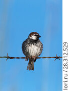 Купить «Spanish sparrow (Passer hispaniolensis)  male  perched on a roadside barbed wire fence. Alentejo, Portugal.», фото № 28312529, снято 24 мая 2018 г. (c) Nature Picture Library / Фотобанк Лори