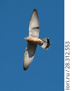 Купить «Lesser kestrel (Falco naumanni)  male in courtship flight display, Extremadura, Spain.», фото № 28312553, снято 18 июля 2018 г. (c) Nature Picture Library / Фотобанк Лори