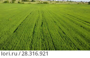 Купить «Aerial Drone Shot over Large Green Wheat Field», видеоролик № 28316921, снято 12 февраля 2010 г. (c) Куликов Константин / Фотобанк Лори