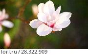 Купить «Beautiful pink magnolia flower», видеоролик № 28322909, снято 19 апреля 2018 г. (c) Peredniankina / Фотобанк Лори