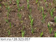 Купить «Грядка озимого чеснока (лат. Alliaceae)», фото № 28323057, снято 26 апреля 2015 г. (c) Ольга Сейфутдинова / Фотобанк Лори