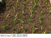 Купить «Грядка озимого чеснока (лат. Alliaceae)», фото № 28323065, снято 26 апреля 2015 г. (c) Ольга Сейфутдинова / Фотобанк Лори