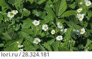 Купить «Strawberry blossoms in the garden», видеоролик № 28324181, снято 10 мая 2013 г. (c) Gennadiy Iotkovskiy / Фотобанк Лори
