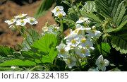 Купить «Strawberry blossoms in the garden», видеоролик № 28324185, снято 11 мая 2013 г. (c) Gennadiy Iotkovskiy / Фотобанк Лори