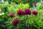 Купить «Пионы в саду», фото № 28325561, снято 8 июня 2014 г. (c) Ольга Сейфутдинова / Фотобанк Лори