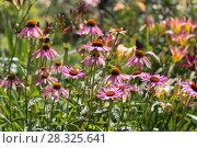 Купить «Цветы эхинацеи в саду (Caneflower - Echinacea)», фото № 28325641, снято 27 июля 2014 г. (c) Ольга Сейфутдинова / Фотобанк Лори