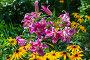 Купить «ЛилияОТ-гибрид в саду», фото № 28325725, снято 3 августа 2014 г. (c) Ольга Сейфутдинова / Фотобанк Лори