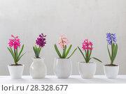 Купить «hyacinth in pot on white background», фото № 28328677, снято 22 апреля 2018 г. (c) Майя Крученкова / Фотобанк Лори