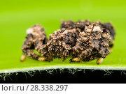 Купить «Spider (Phrynarachne rugosa) with rough appearance resembling lichen, Andasibe, Madagascar», фото № 28338297, снято 18 июня 2019 г. (c) Nature Picture Library / Фотобанк Лори