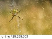 Купить «Wasp spider (Argiope bruennichi) on web, Italy, August.», фото № 28338305, снято 27 апреля 2018 г. (c) Nature Picture Library / Фотобанк Лори