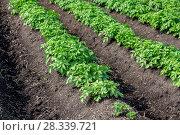 Купить «Potato field», фото № 28339721, снято 25 июня 2015 г. (c) Ольга Сейфутдинова / Фотобанк Лори