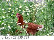 Купить «Red chicken in camomiles in nature», фото № 28339789, снято 16 июля 2016 г. (c) Володина Ольга / Фотобанк Лори
