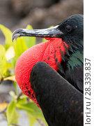 Купить «Great frigatebird (Fregata minor) male, inflating red gular  / throat  pouch, Genovesa Island, Darwin Bay, Galapagos Islands. April.», фото № 28339837, снято 21 июня 2018 г. (c) Nature Picture Library / Фотобанк Лори