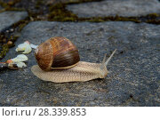 Купить «Roman snail (Helix pomatia) foraging, Lot, France, May.», фото № 28339853, снято 23 мая 2018 г. (c) Nature Picture Library / Фотобанк Лори