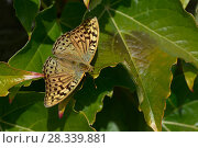 Купить «Cardinal butterfly (Argynnis pandora) male on a leaf, Vendee, France, August.», фото № 28339881, снято 27 апреля 2018 г. (c) Nature Picture Library / Фотобанк Лори
