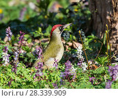 Купить «Green woodpecker (Picus viridis) in flowers (Corydalis cava) in flowers, female,Larkspur, Germany, March.», фото № 28339909, снято 23 мая 2018 г. (c) Nature Picture Library / Фотобанк Лори