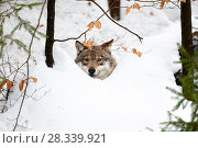 Купить «Wolf (Canis lupus) in snow, Bavarian Forest National Park, Bavaria, Germany, captive», фото № 28339921, снято 16 июля 2018 г. (c) Nature Picture Library / Фотобанк Лори