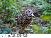 Купить «Long-eared owl (Asio otus) swallowing mouse, Bavarian forest National Park, Germany, May.  Captive.», фото № 28339929, снято 25 сентября 2018 г. (c) Nature Picture Library / Фотобанк Лори