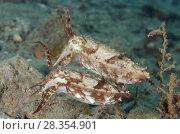 Купить «Pair of Broadclub Cuttlefish (Sepia latimanus), Pantai Nama dive site, Ambon, Maluku (Moluccas), Banda Sea, Indonesia.», фото № 28354901, снято 27 февраля 2018 г. (c) age Fotostock / Фотобанк Лори