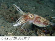 Купить «Broadclub Cuttlefish (Sepia latimanus), Pantai Nama dive site, Ambon, Maluku (Moluccas), Banda Sea, Indonesia.», фото № 28355017, снято 27 февраля 2018 г. (c) age Fotostock / Фотобанк Лори