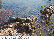 Купить «Red-eared slider, semiaquatic turtles», фото № 28355705, снято 19 января 2018 г. (c) EugeneSergeev / Фотобанк Лори