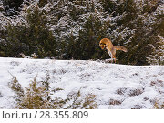 Купить «Red fox (Vulpes vulpes) hunting mice in the snow. Central Apennines, Abruzzo, Italy, February.», фото № 28355809, снято 25 мая 2018 г. (c) Nature Picture Library / Фотобанк Лори