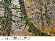Купить «Beech (Fagus sylvatica) forest showing autumnal colours in the Abruzzo National Park, Italy, October.», фото № 28355913, снято 19 августа 2018 г. (c) Nature Picture Library / Фотобанк Лори