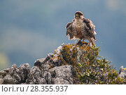 Купить «European Lanner falcon (Falco biarmicus feldeggi) adult male shaking itself on perch. Central Apennines, Italy, April.», фото № 28355937, снято 20 августа 2018 г. (c) Nature Picture Library / Фотобанк Лори