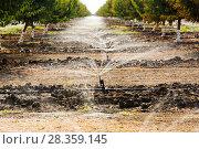 Купить «Almond trees (Prunus amygdalus) irrigation, California, USA, September 2014.», фото № 28359145, снято 24 мая 2018 г. (c) Nature Picture Library / Фотобанк Лори